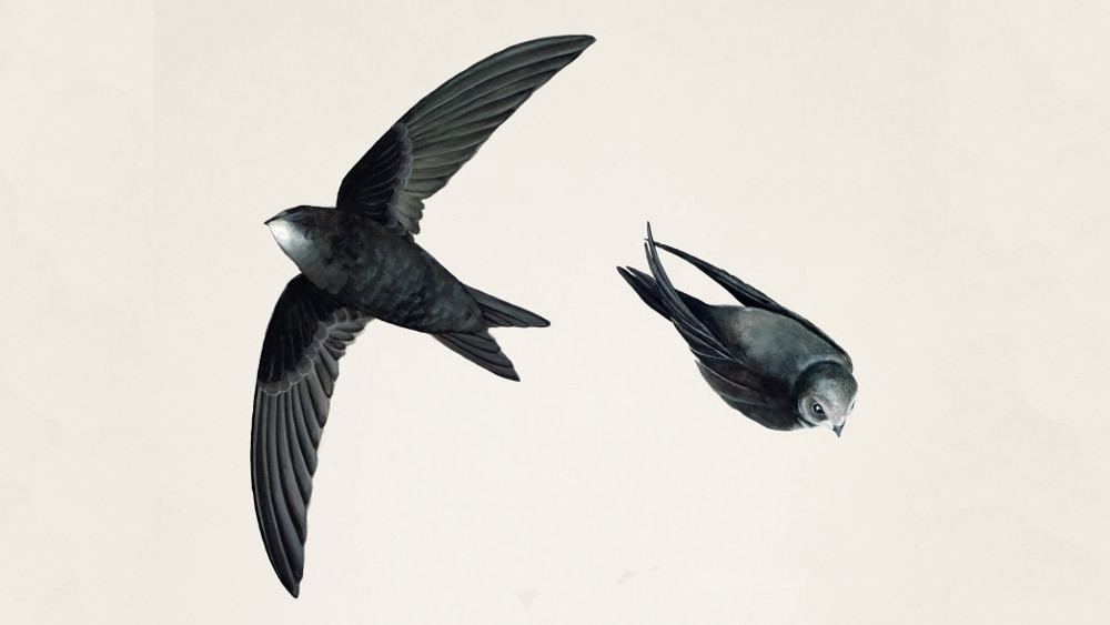 Swifts are amazing, beautiful birds. Supreme aerialists, they spend almost all their life in the air, a lot of that at low level, feeding on airborne insects.